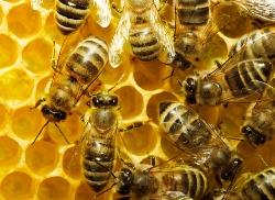 П'ять дивовижних речей, які можуть робити бджоли